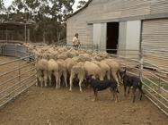 Crutching at Rapanui shearing shed